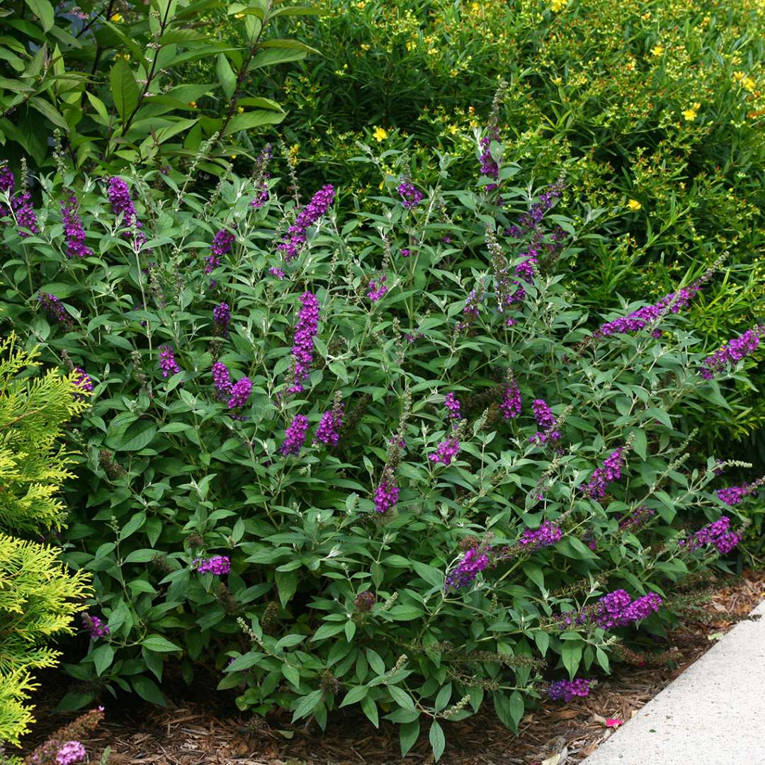 Buddleia Miss Violet planted along sidewalk