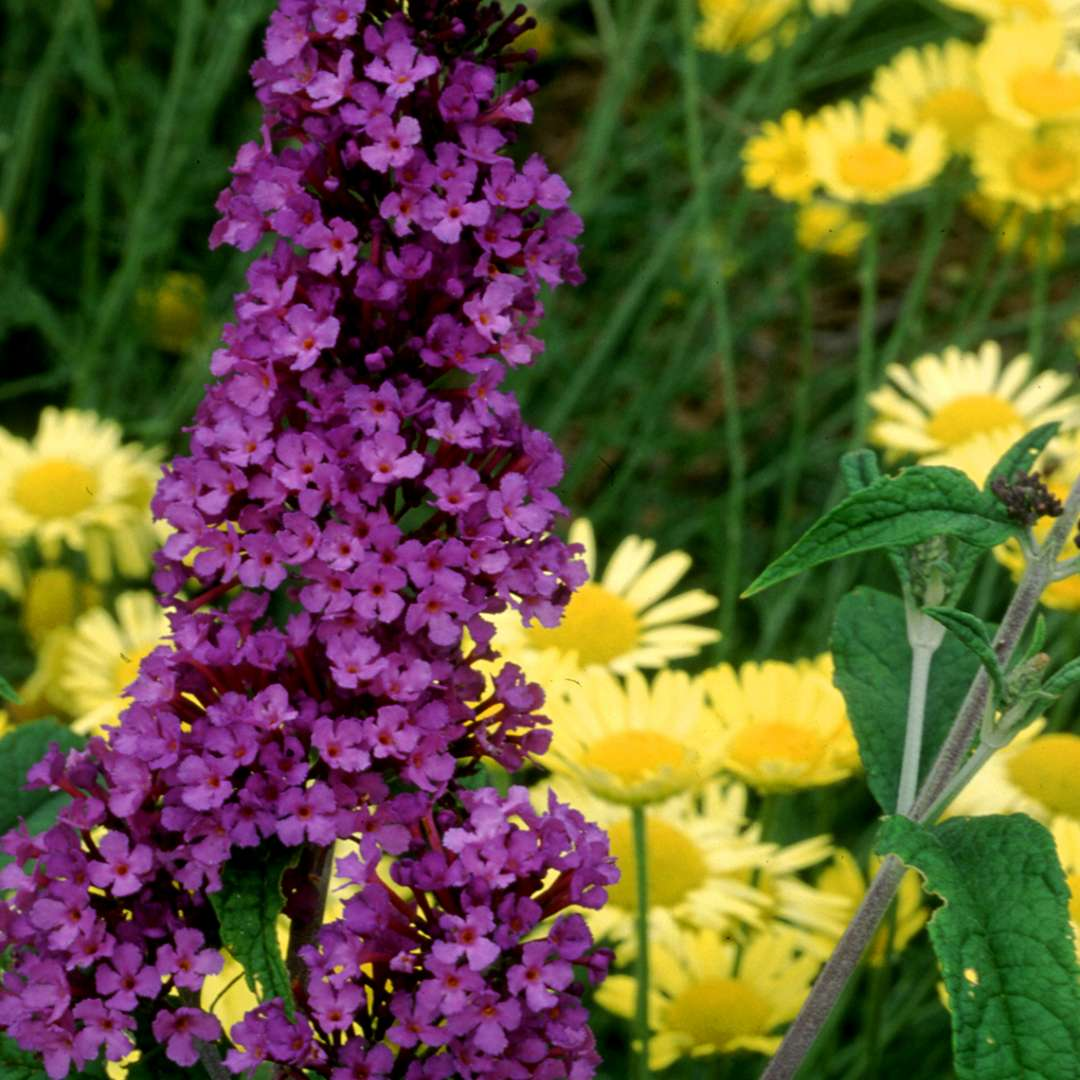 Potter's Purple Buddleia | Spring Meadow - wholesale ...