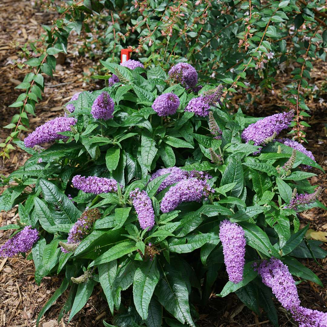 Pugster Amethyst Buddleia Spring Meadow Wholesale