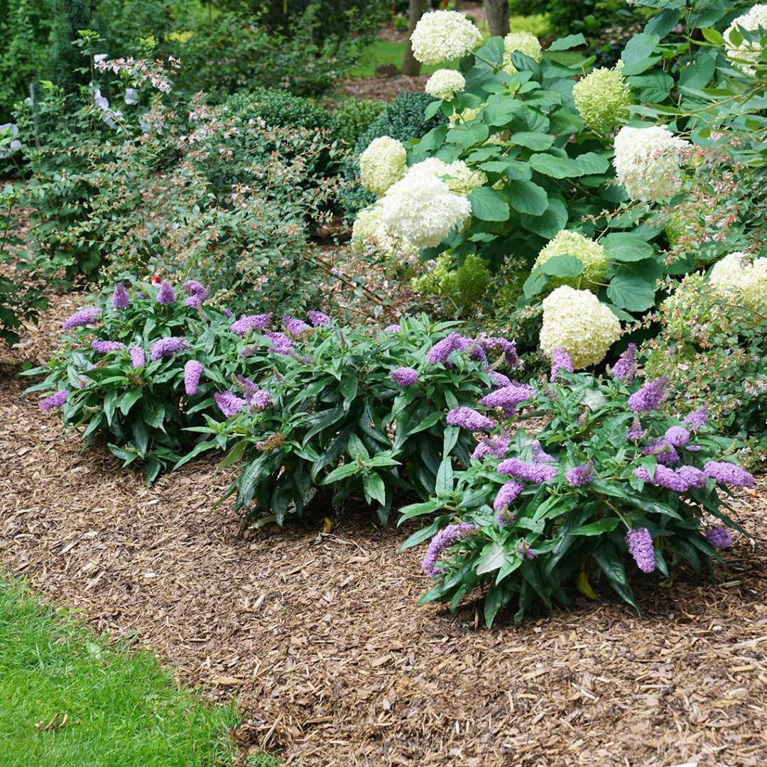 Group planting of three Pugster Amethyst Buddleia near Abelia and Hydrangea