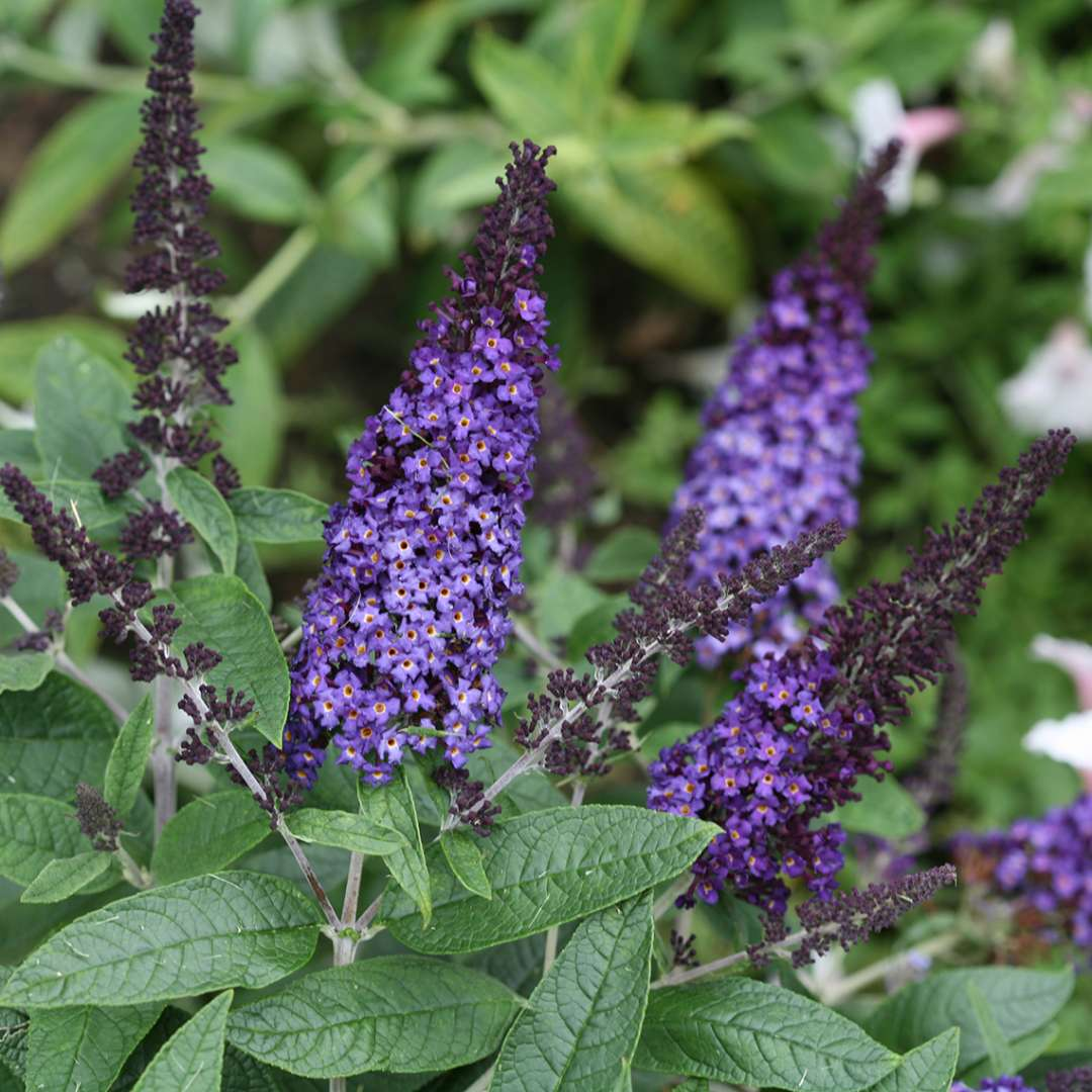 Pugster Blue Buddleia Spring Meadow Wholesale Liners Spring
