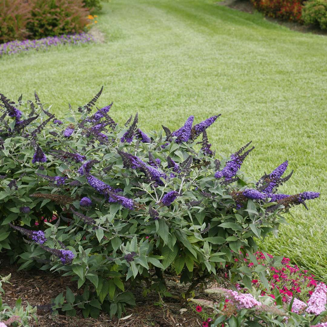 Pugster Blue Buddleia in landscape next to grass