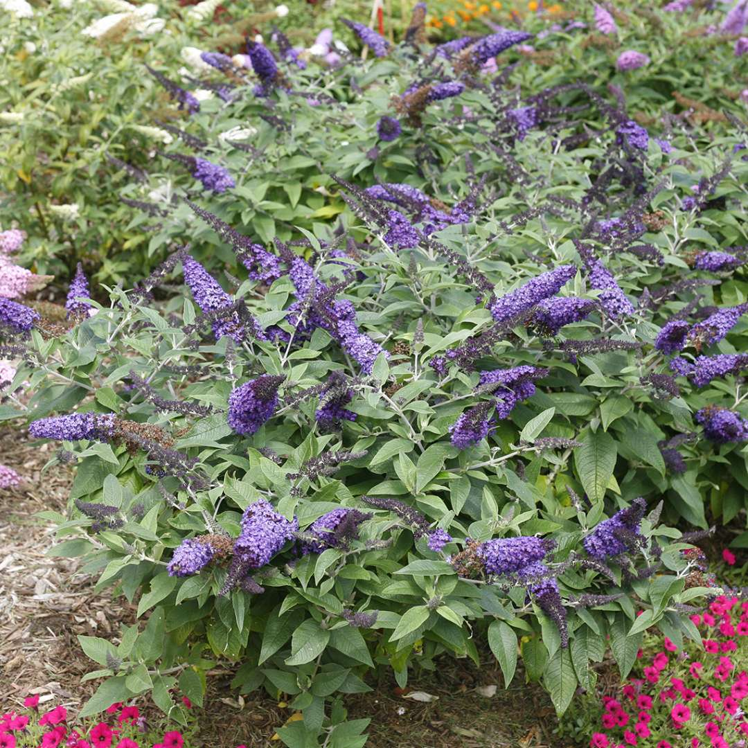 Pugster Blue Buddleia in garden