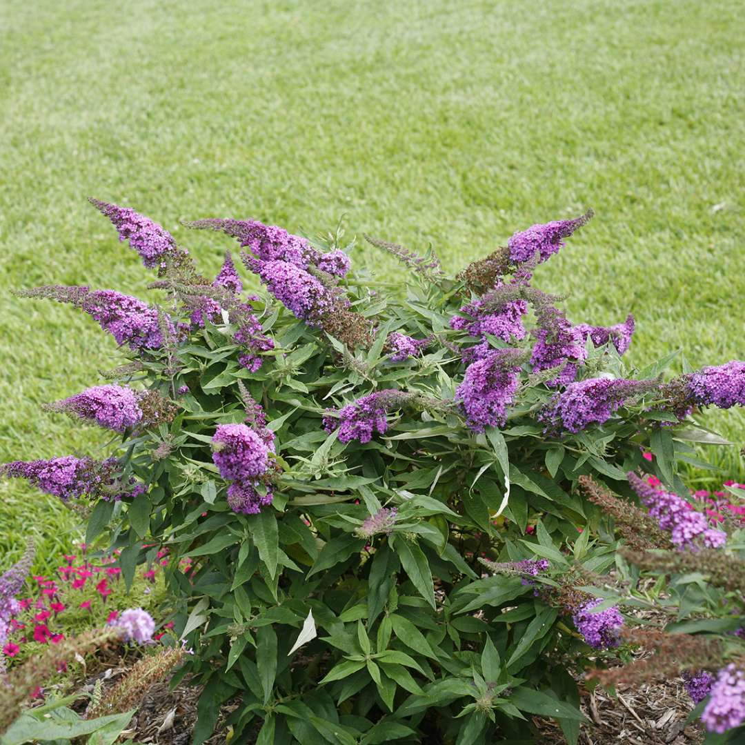 Pugster Periwinkle Buddleia in landscape