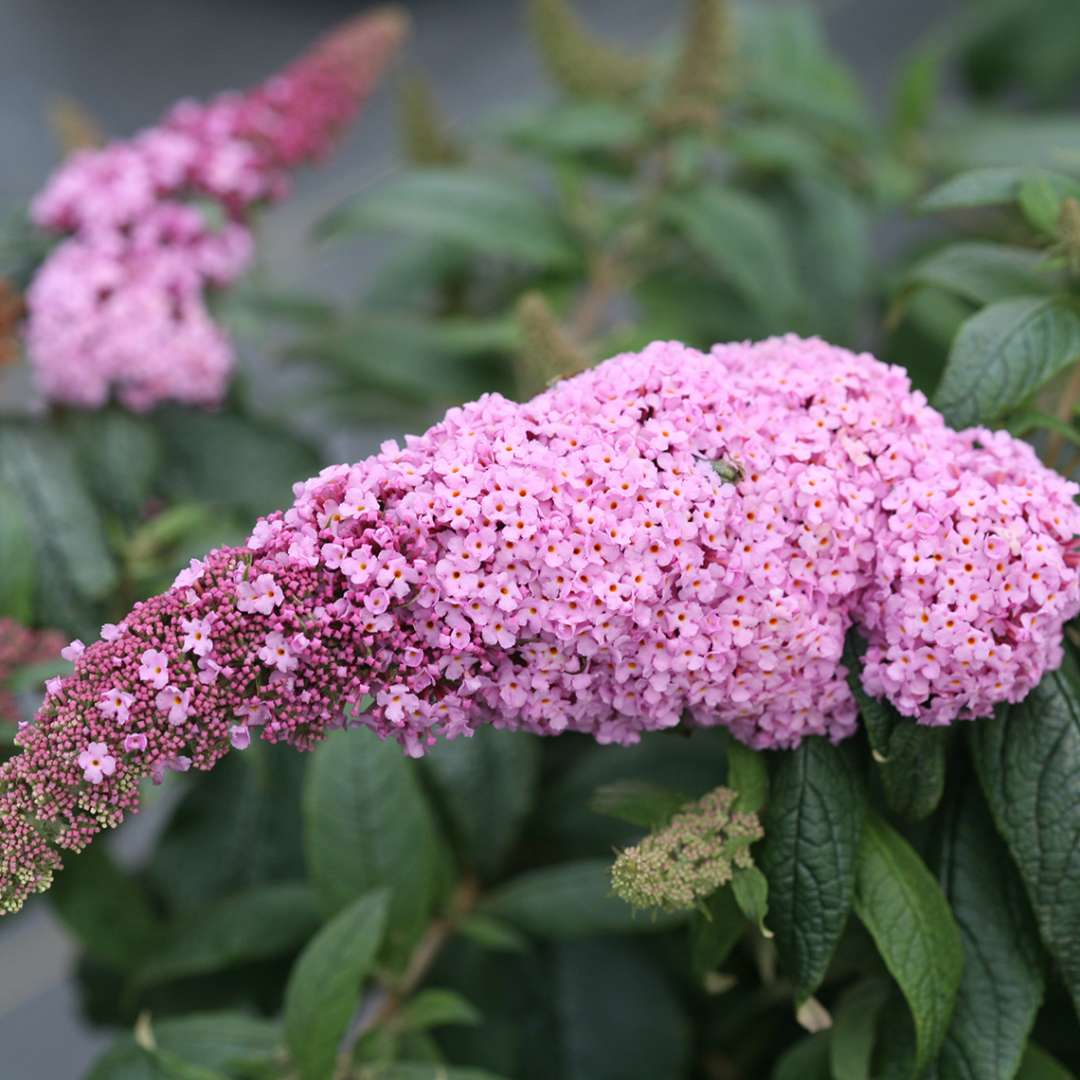Close up of light pink Pugster Pink Buddleia bloom