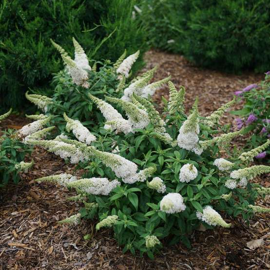 Planting of Pugster White Buddleia in landscape