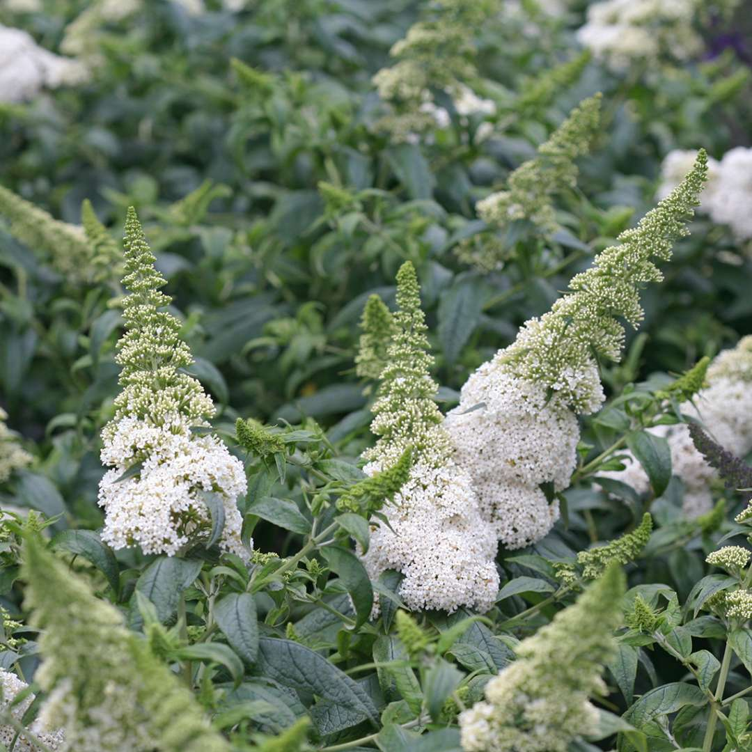 Close up of Pugster White Buddleia flowers