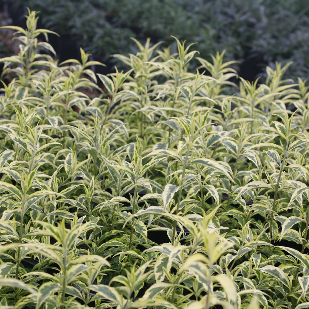 Yellow and green variegation of Buddleia Summer Skies