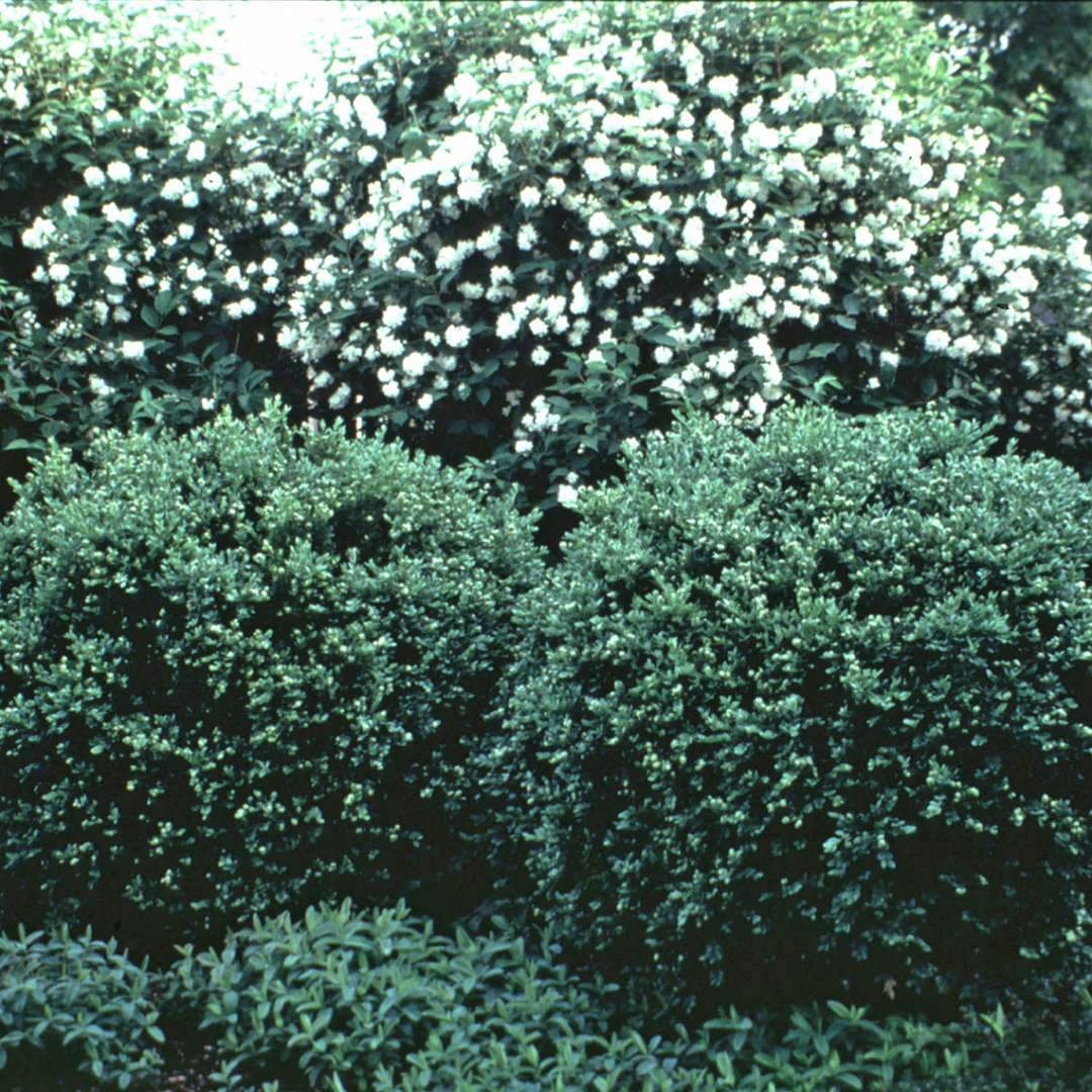 Chicagoland Green Buxus in garden