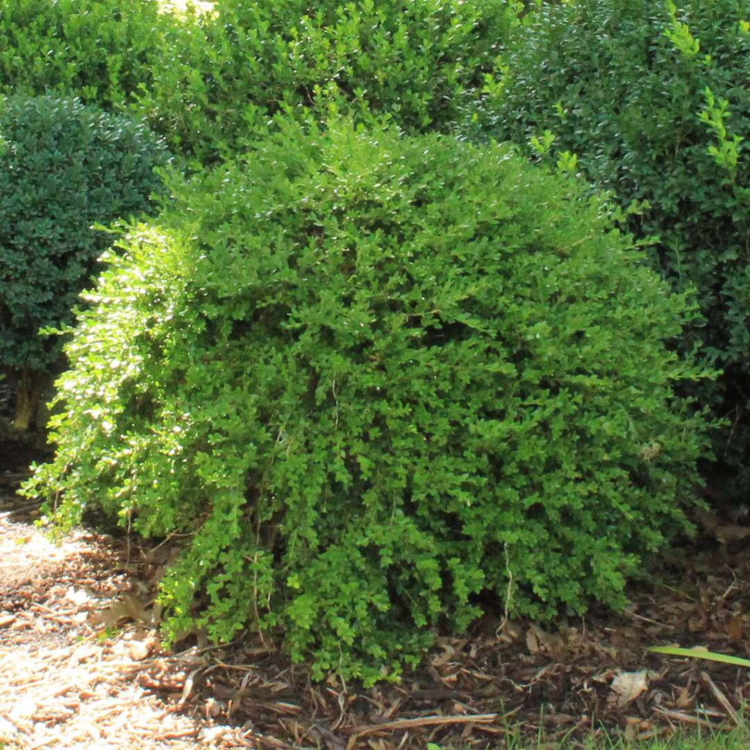 Buxus Green Gem in boxwood garden