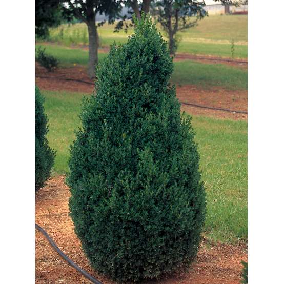 Conical Buxus Green Mountain in landscape