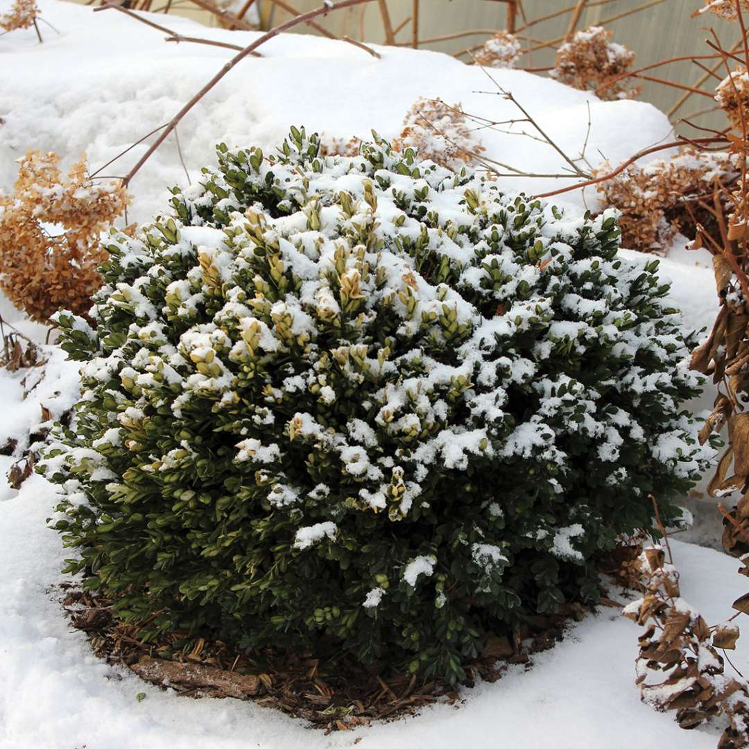North Star Buxus lightly covered in snow