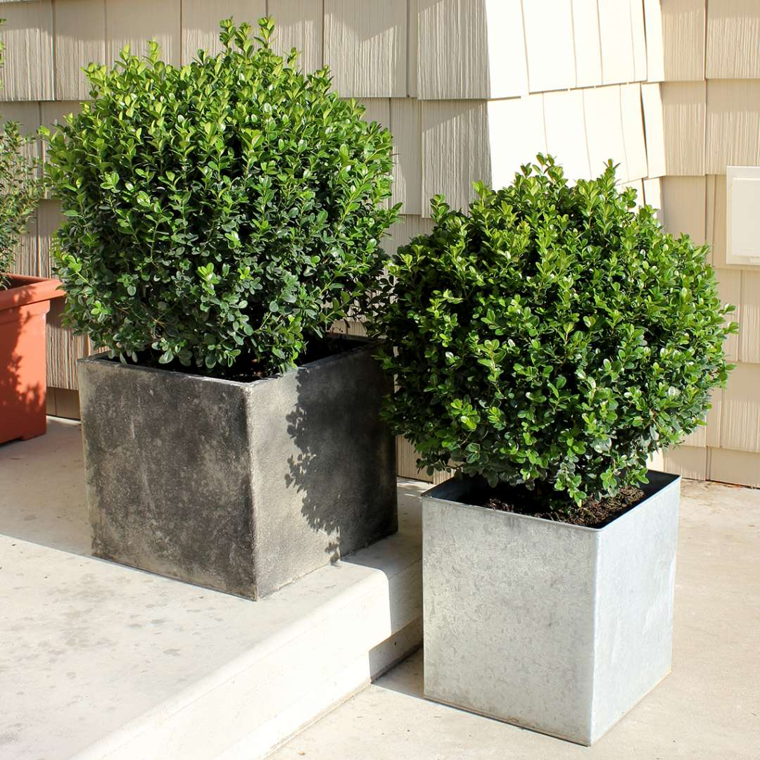 Pair of Sprinter Buxus in decorative metal containers on porch