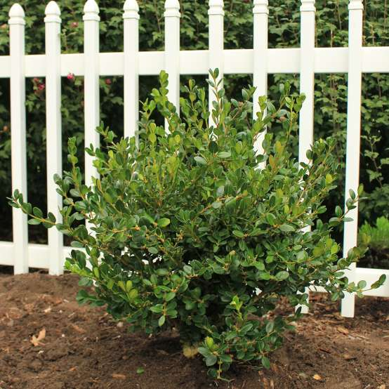 Buxus Winter Gem planted in front of white picket fence