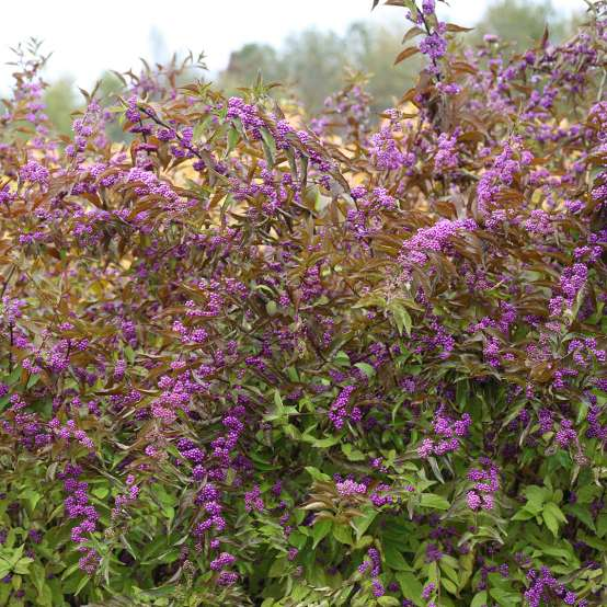 Callicarpa Early Amethyst in landcape