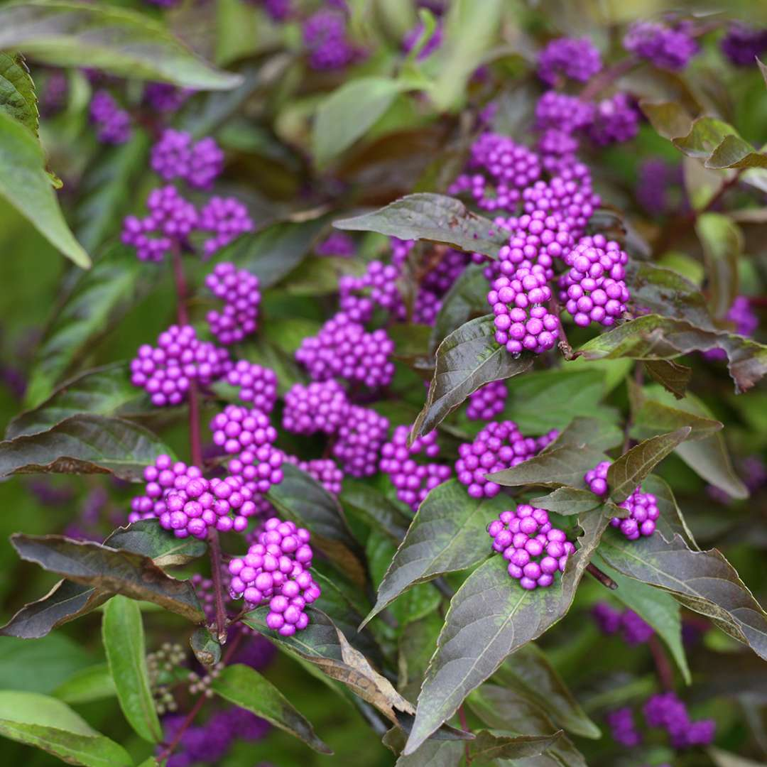 Close up of Callicarpa Early Amethyst with purple berries