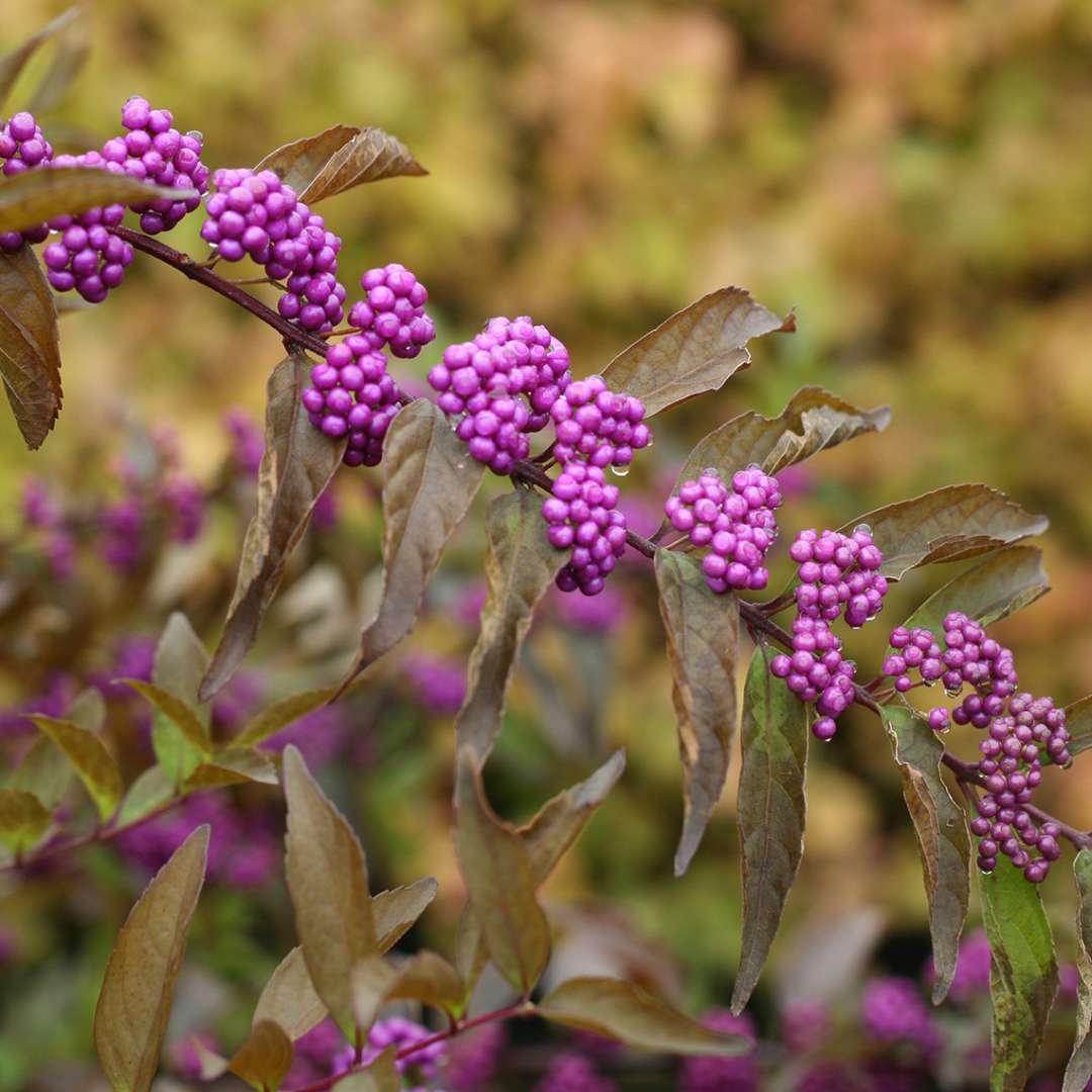 Close up of Callicarpa Early Amethyst with purple berries and bronze fall color