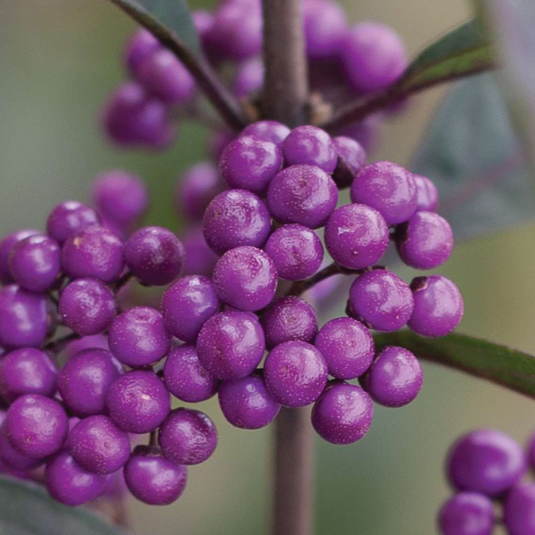 of wilson buy pearl closeup which prices purple contrasting fall more flowers with beautifully intensified in pearls brilliant the follow berries beautyberry beautyverry callicarpa clusters foliage also bush bros like bright has best