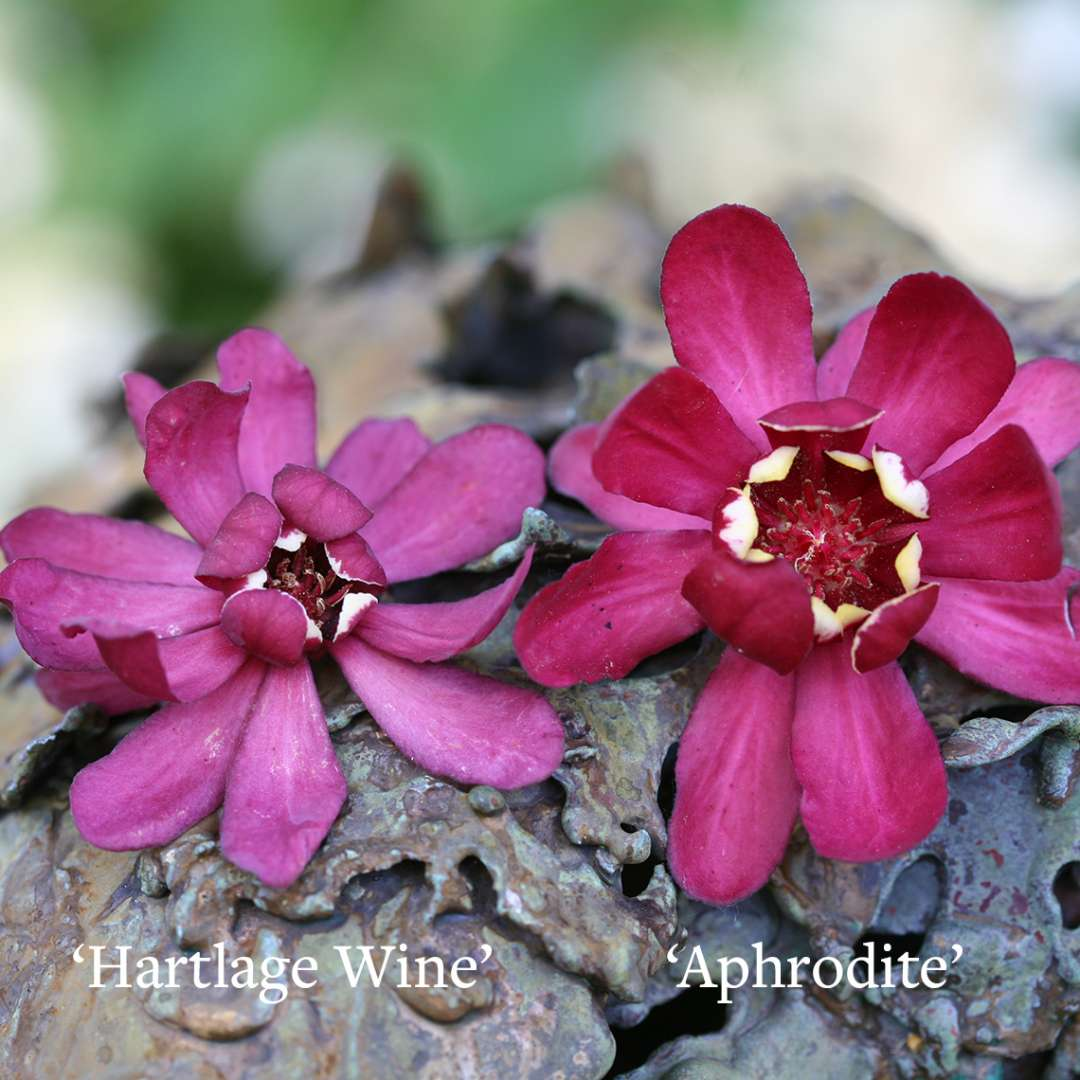 Comparison between Calycanthus Aphrodite  and Calycanthus Hartlage Wine blooms
