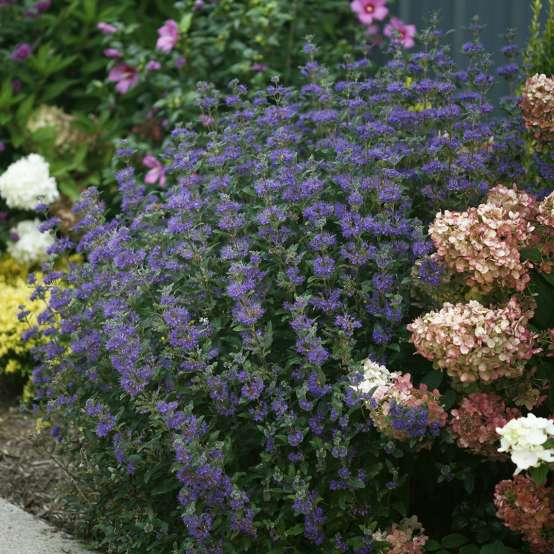 Beyond Midnight Caryopteris in landscape with hydrangeas and rose of Sharon