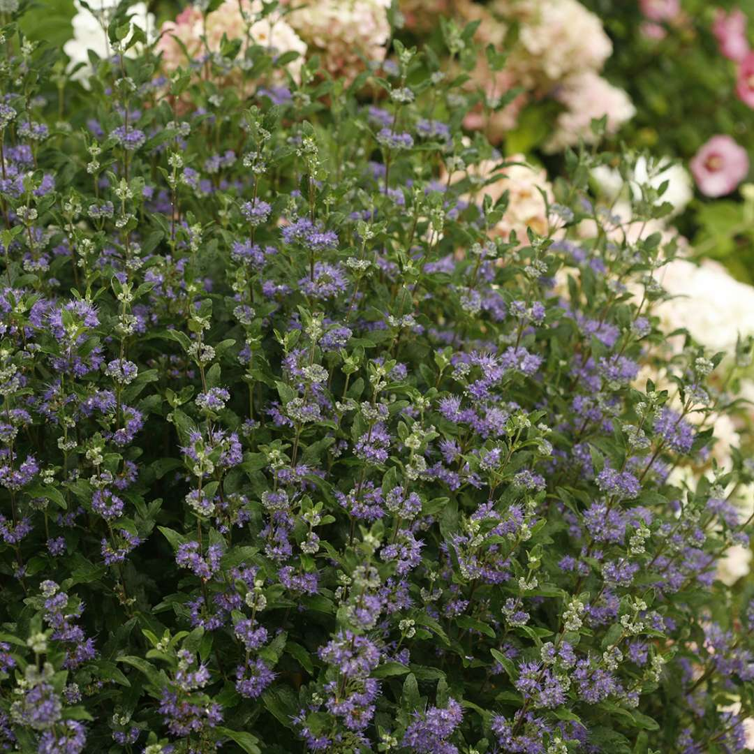Beyond Midnight Caryopteris in garden