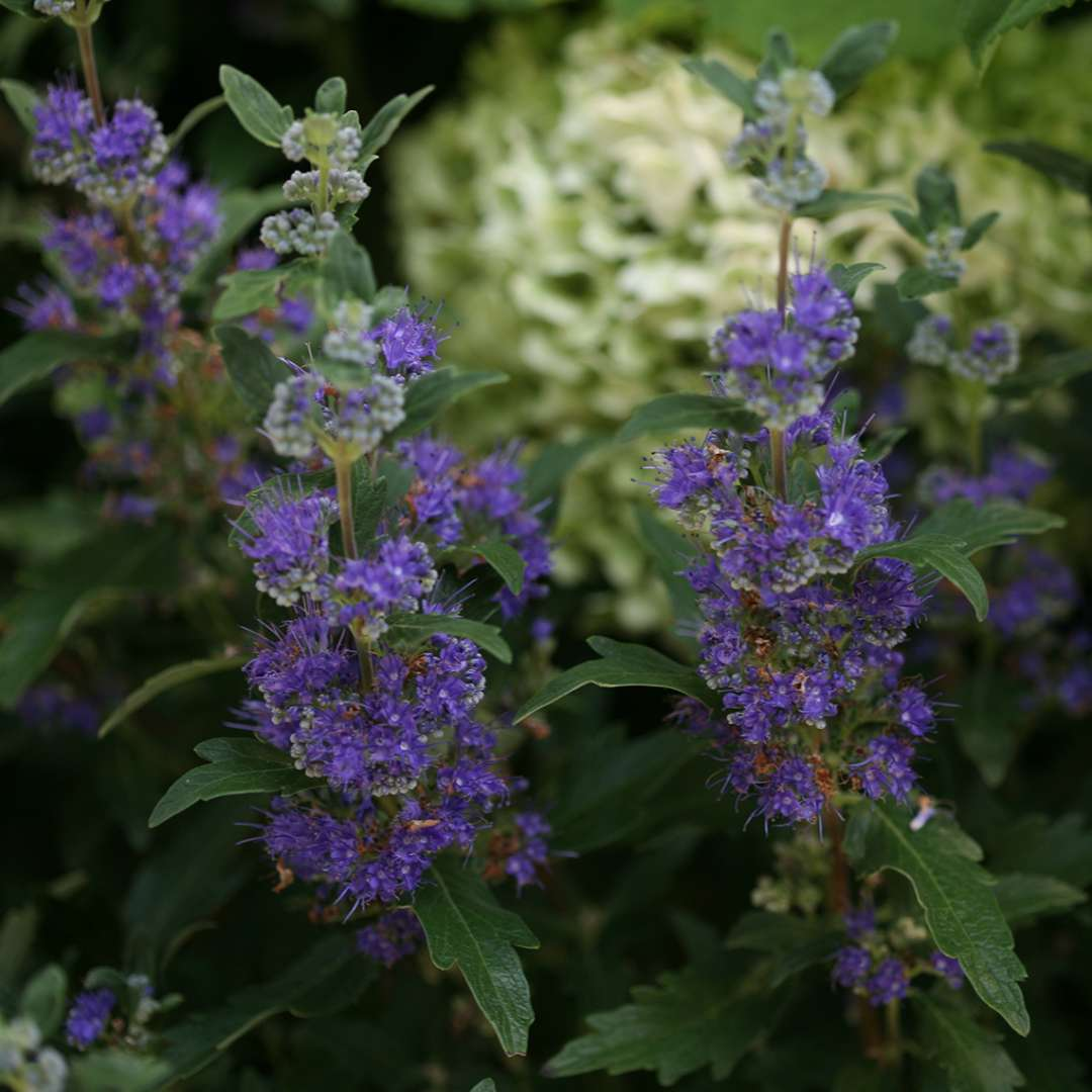 Close up of deep blue flowers and dark green foliage of Beyond Midnight Caryopteris