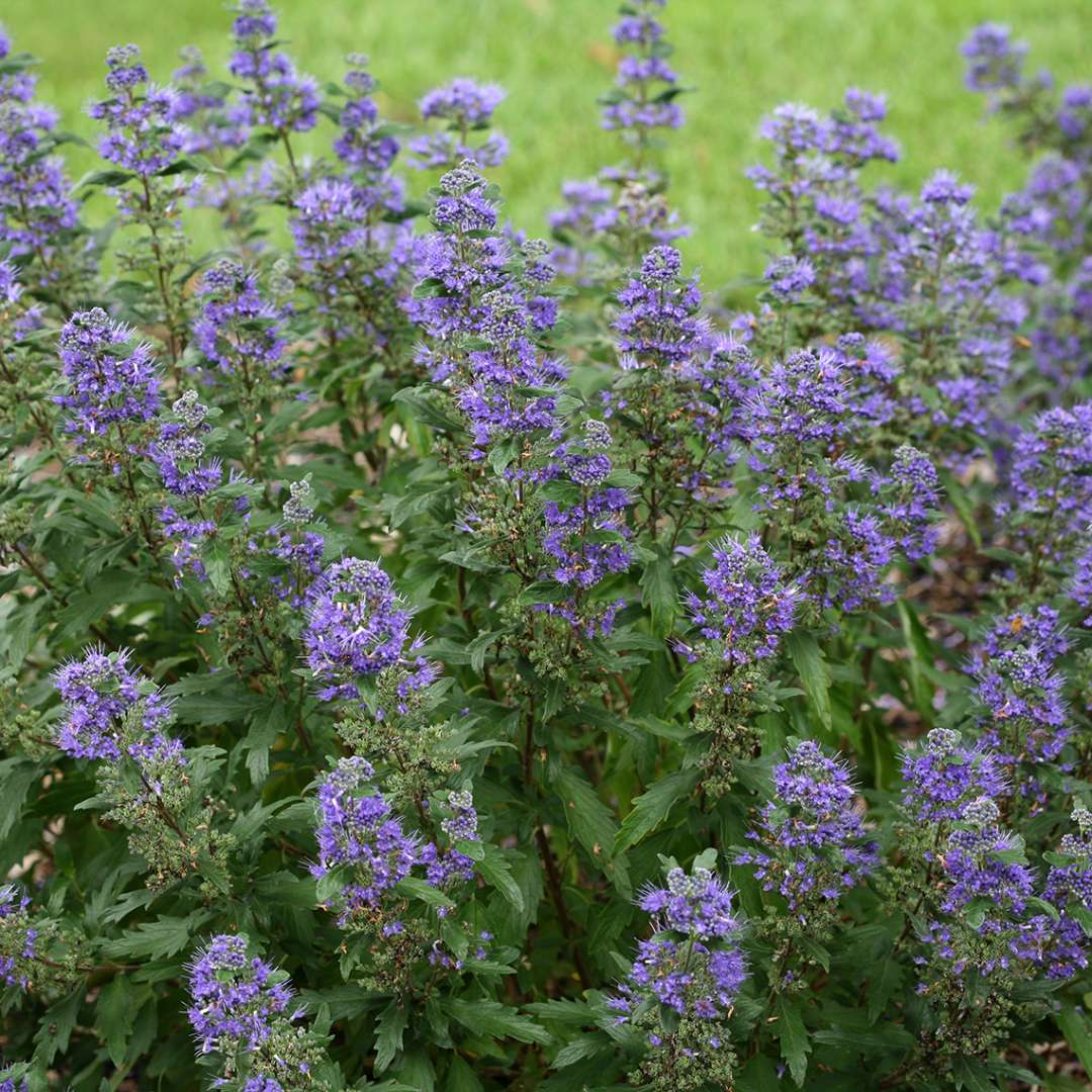 Blue flowers on Beyond Midnight Caryopteris