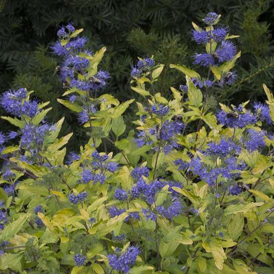 Bright yellow foliage and blue flowers of Lil Miss Sunshine Caryopteris