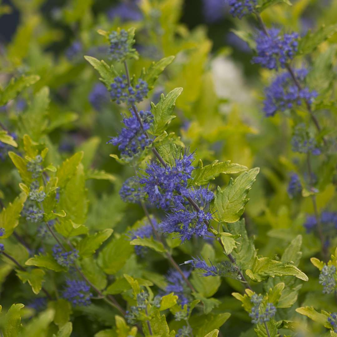 Close up of lime green foliage and blue flowers of Lil Miss Sunshine Caryopteris