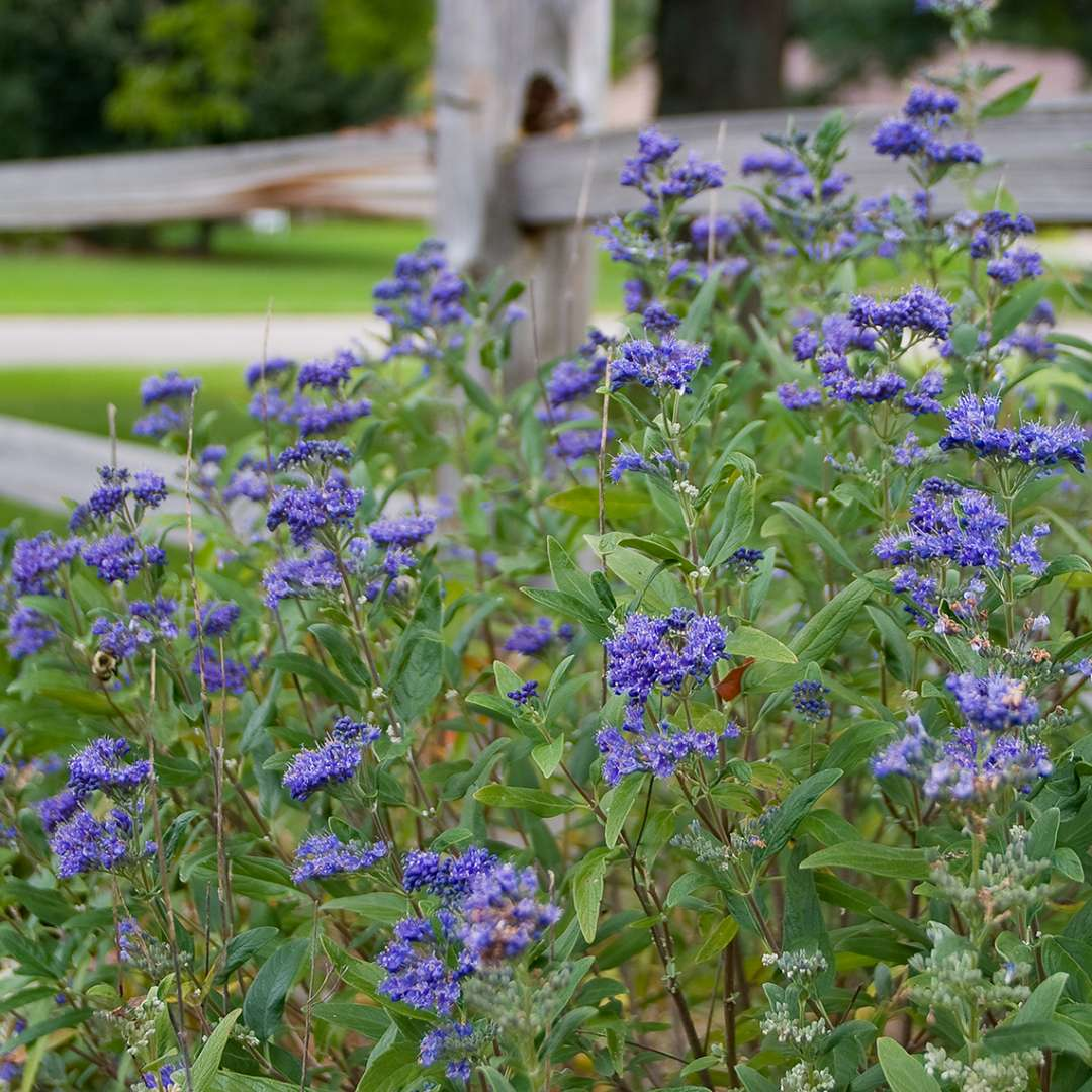Petit bleu caryopteris spring meadow wholesale liners spring blue flowers on petit bleu caryopteris against wood fence izmirmasajfo