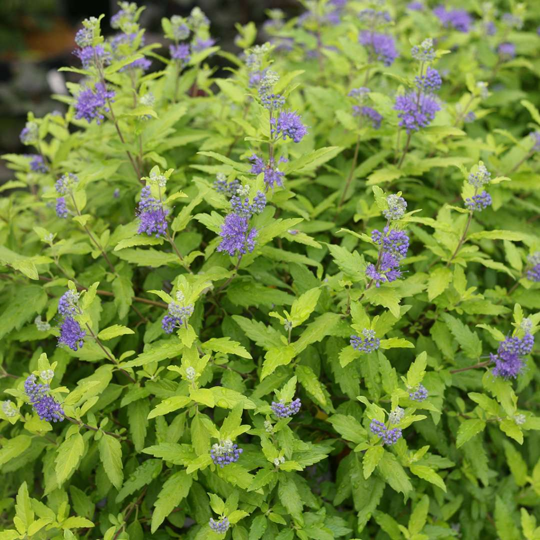 Yellow foliage and blue flowers on Sunshine Blue II Caryopteris