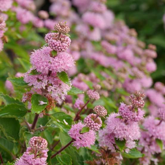 Beyond Pinkd caryopteris has pink spire like flowers and neatly toothed foliage.