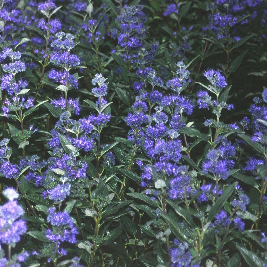 Close Up Of Dark Green Foliage And Deep Blue Flowers On Caryopteris Knight