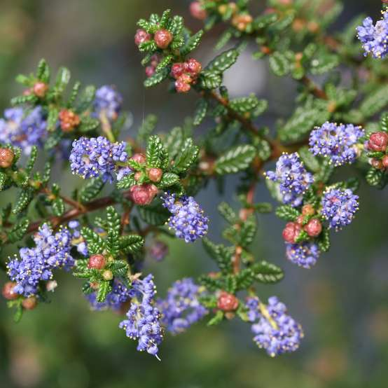 Close up of blue flowers and red buds of Ceanothus Julia Phelps