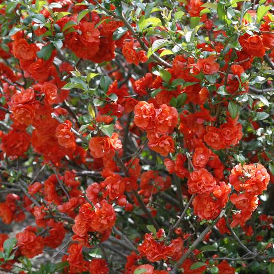 Branches of Double Take Orange Chaenomeles covered in orange flowers