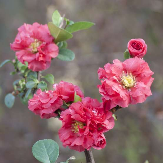 Branch covered in Double Take Pink Chaenomeles flowers