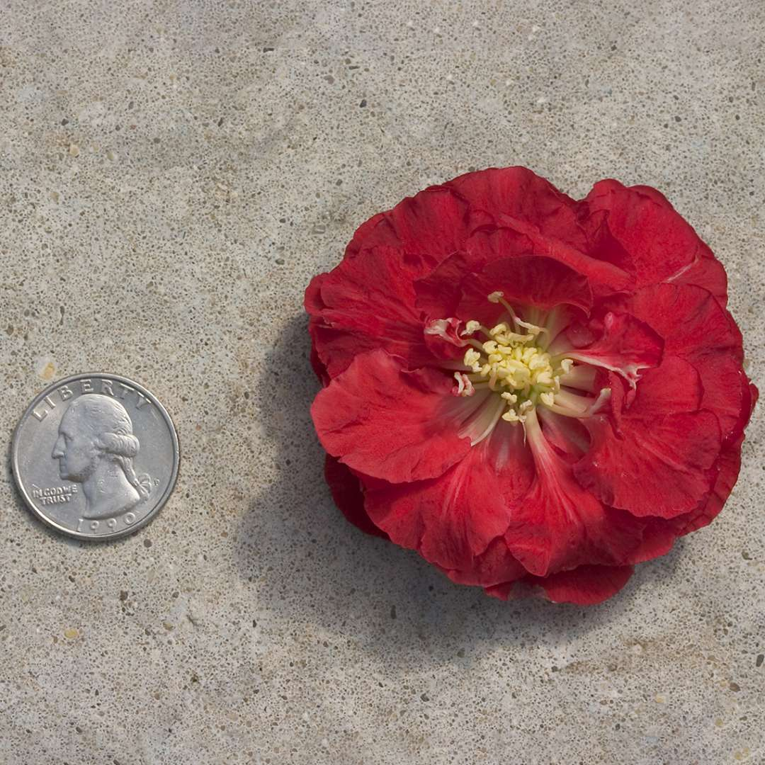 Size comparison of Double Take Scarlet Chaenomeles blooms and quarter