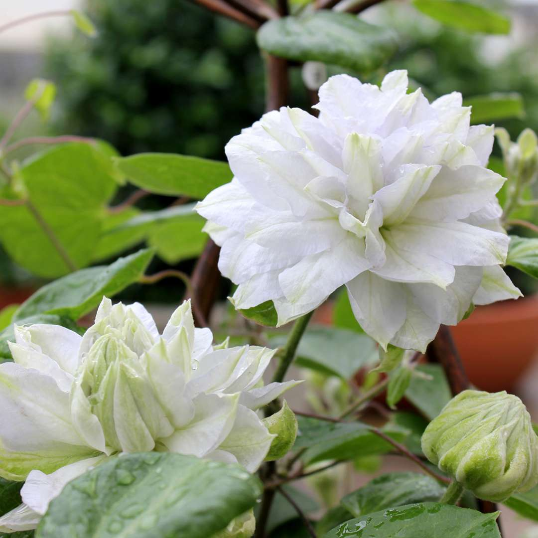 Blooms and rounded bud of icy Clematis Diamond Ball