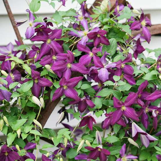 Large purple flowers on Happy Jack Purple Clematis