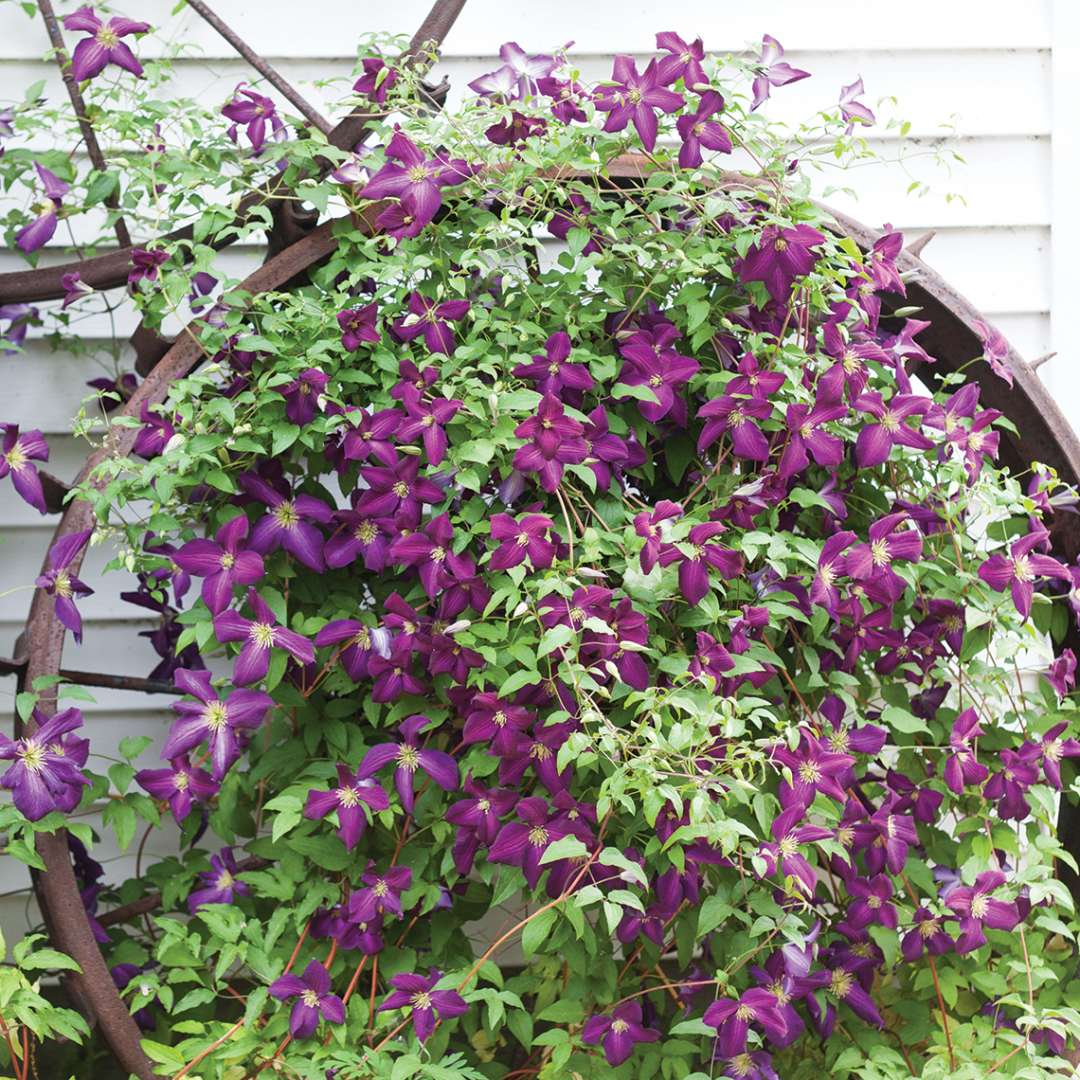 Happy Jack Purple Clematis growing on antique wheel