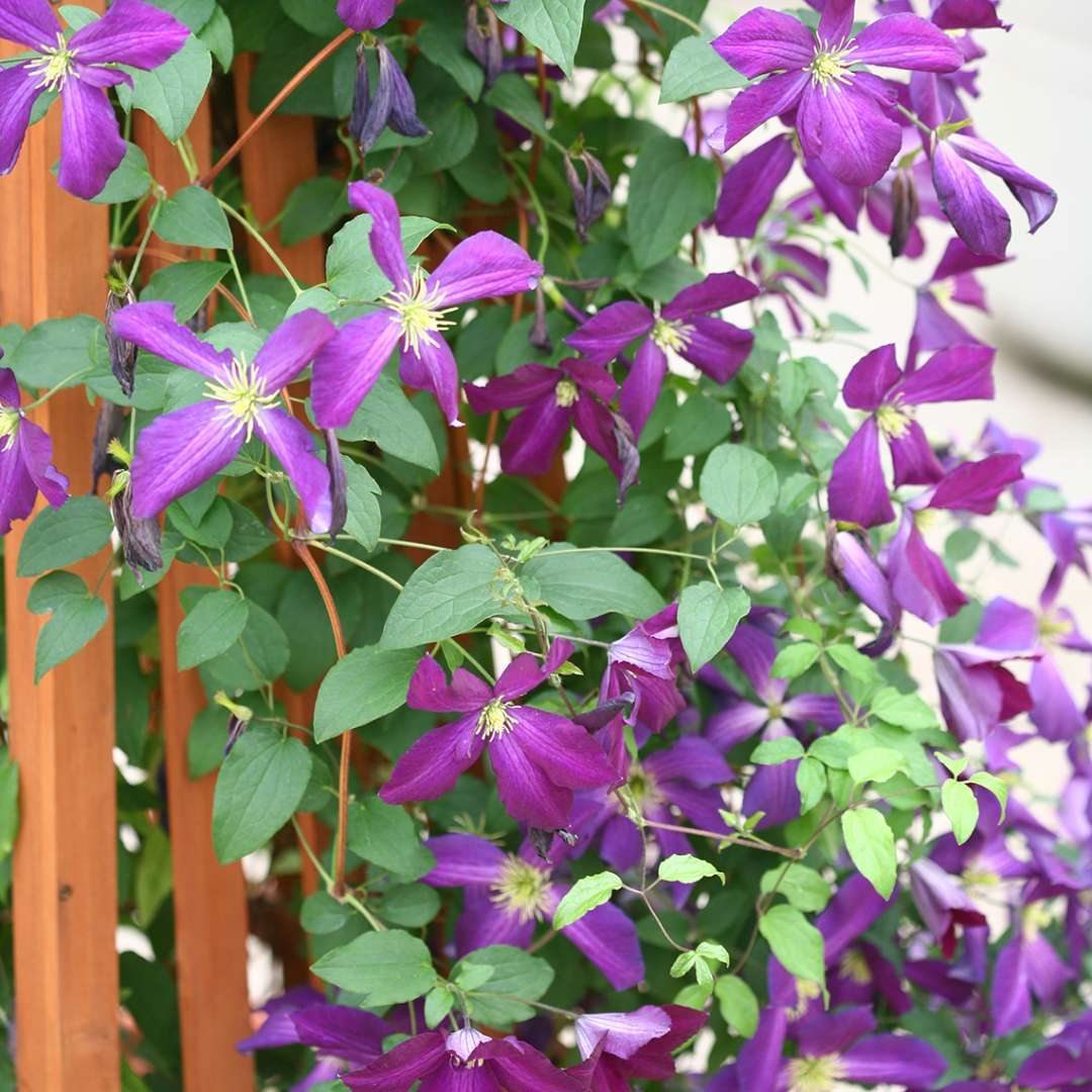 Happy Jack Purple Clematis flowering on wooden trellis