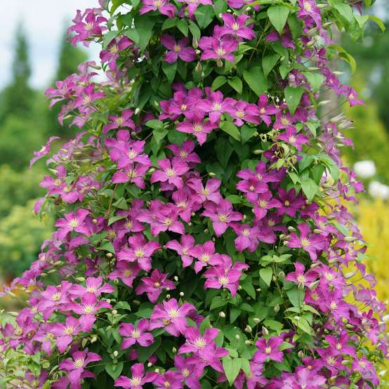 Jolly Good Clematis blooms covering pyramidal trellis