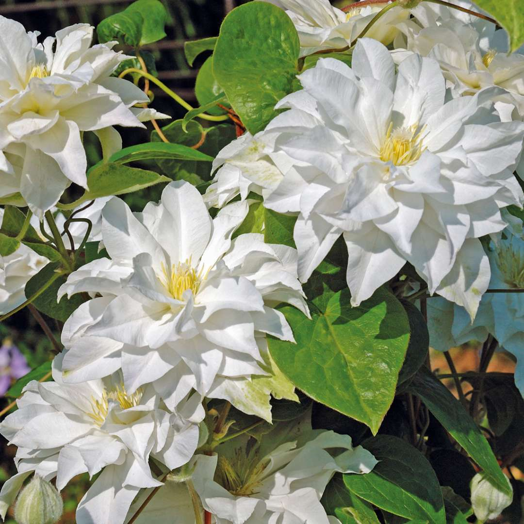 Madame Maria Clematis Spring Meadow Wholesale Liners Spring