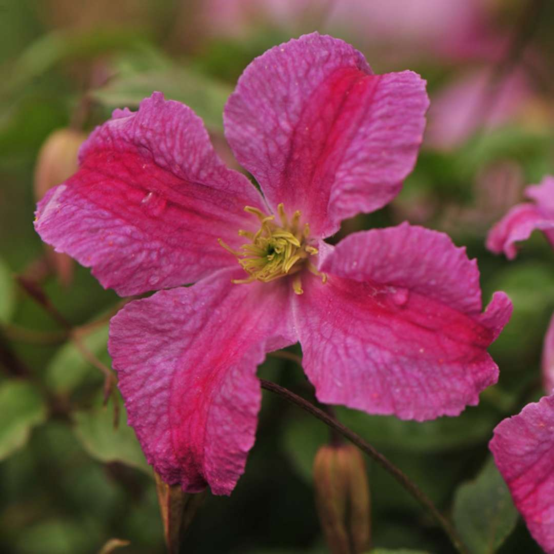 Pink Mink Clematis Spring Meadow Wholesale Liners Spring