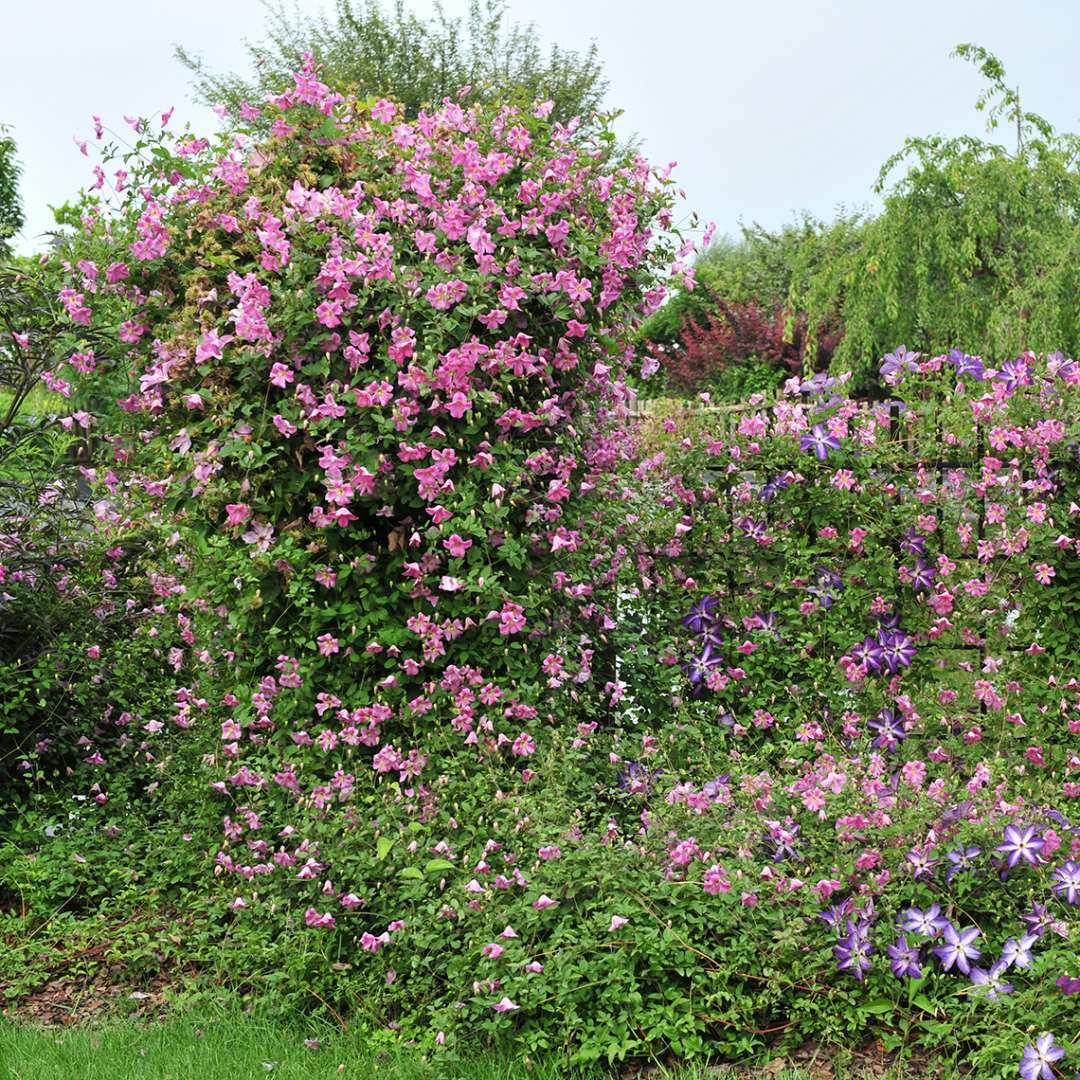 Pink Mink Clematis covering trellis and trickling into neighboring fence and plants