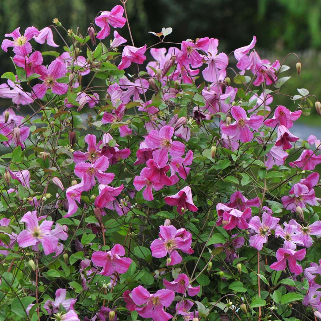 Dozens of Pink Mink Clematis blooms covering support