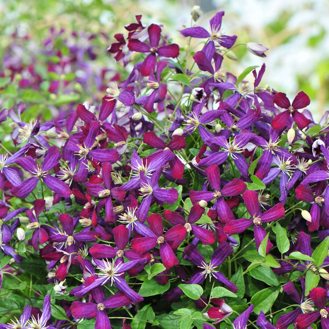 Clematis Sweet Summer Love blooms aging from berry to purple