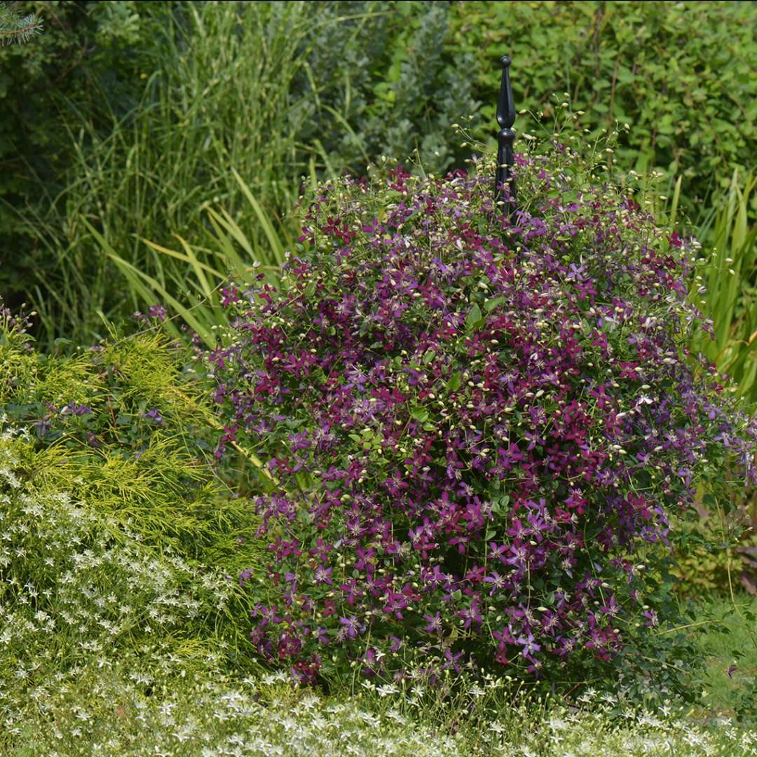 Short black pyramidal trellis covered in Clematis Sweet Summer Love