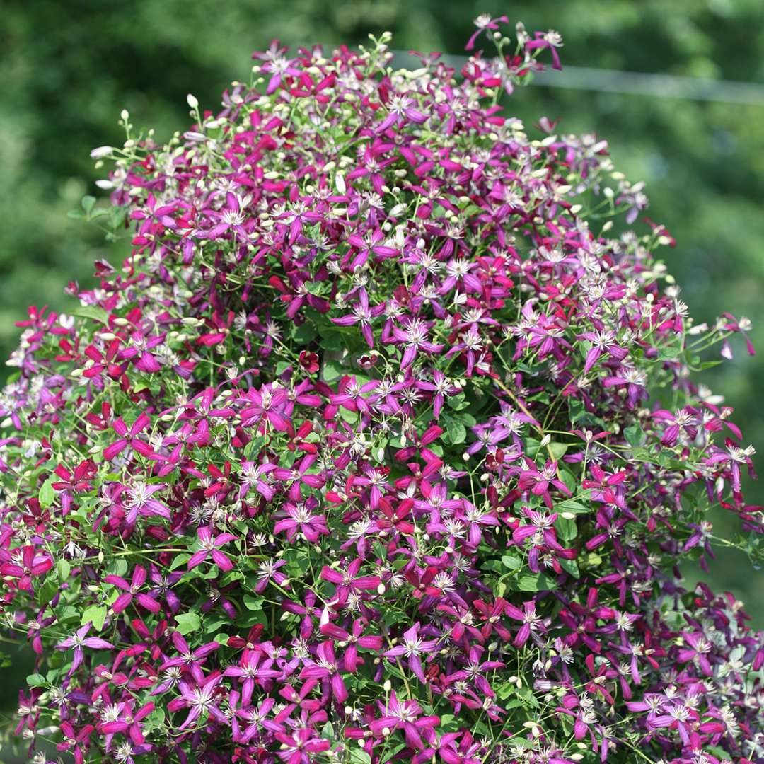 Peaked form covered in colorful Clematis Sweet Summer Love