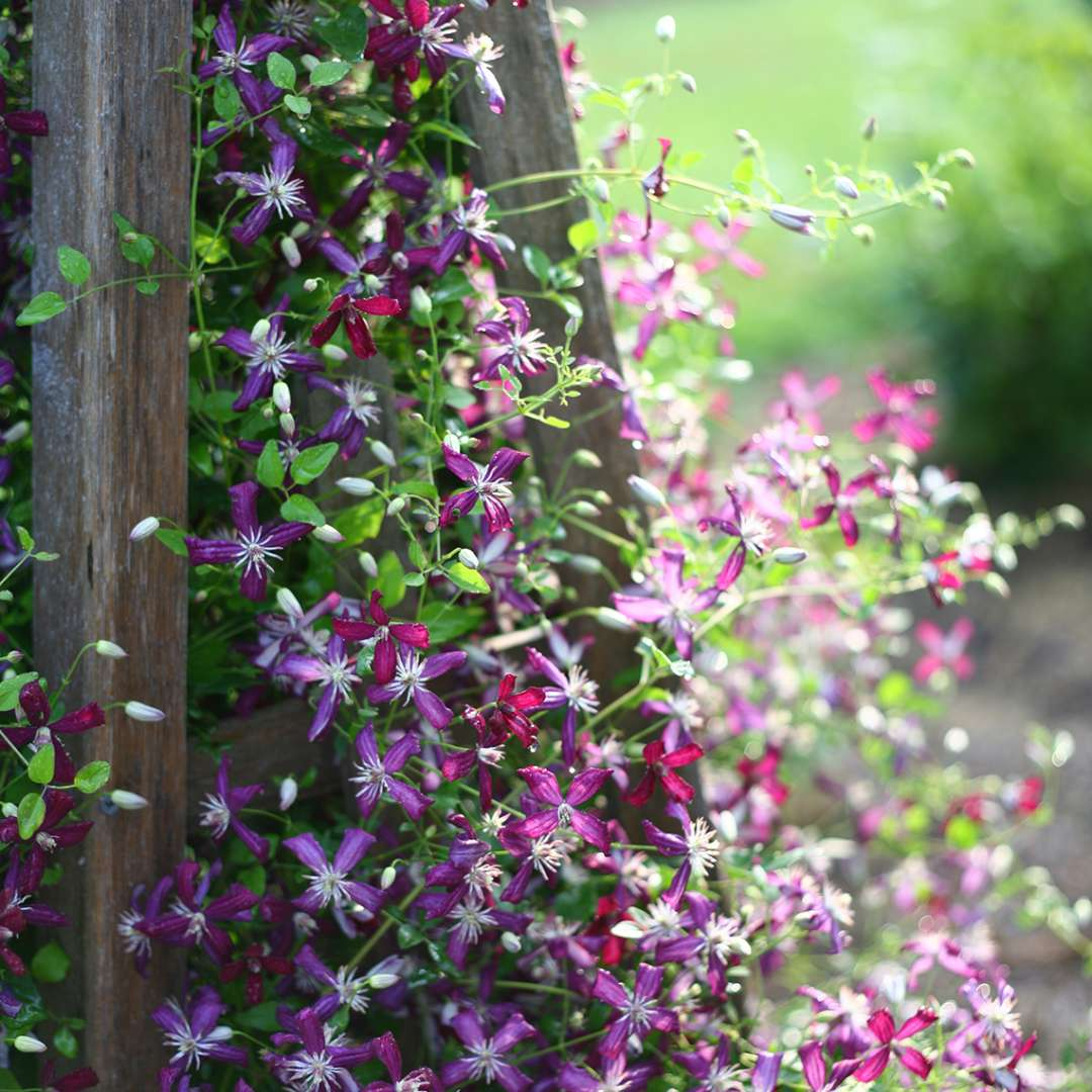 Hundreds of Clematis Sweet Summer Love buds and blooms spilling from wooden trellis